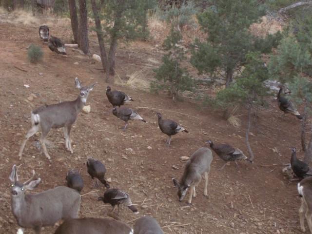 Deer & turkey